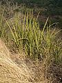Flora of Tanzania 4524 Nevit.jpg