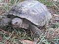 Florida gopher tortoise.jpg