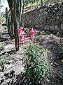 Flors al parc del Cerro de Santa Apolonia de Cajamarca.jpg