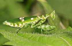 Flower mantis (Creobroter sp.) from W-Java ♀.jpg