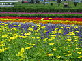 Flowers at Farm Tomita 1.jpg