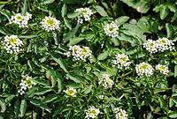 Flowers of Watercress (Nasturtium officinale)