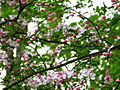 Flowery-spring-tree - West Virginia - ForestWander.jpg