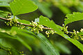 Flueggea suffruticosa 2.jpg