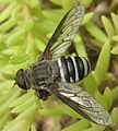 Fly on Portulaca (5437753429).jpg