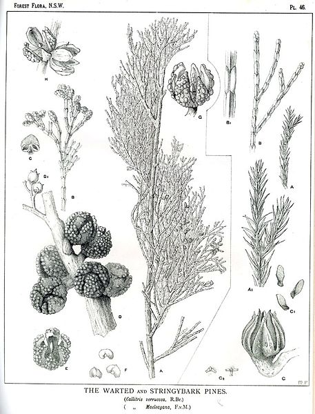 File:Forest Flora NSW Plate 46 Callitris.jpg