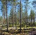 Forest in Leppälahti.jpg