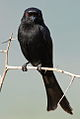 Fork-tailed Drongo, Dicrurus adsimilis, at Pilanesberg National Park, South Africa (16047118151).jpg