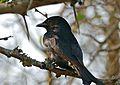 Fork-tailed Drongo (Dicrurus adsimilis) (31422338994).jpg