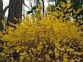 Forsythias in New Hampshire.JPG