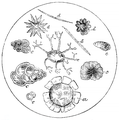 Fossils in Wealden flint (OAW).png