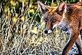 Fox (126587173).jpeg