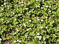 Fragaria vesca (habitus).jpg