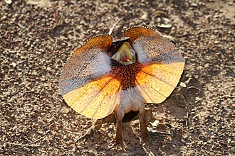 Chlamydosaurus - Image: Frill necked Lizard (Chlamydosaurus kingii) (8692622586)