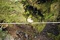 Fringilla coelebs on wire, Levada das 25 Fontes - Nov 2010.jpg