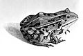 Frog from Roesel von Rosenhof; 1758 Wellcome L0001704.jpg
