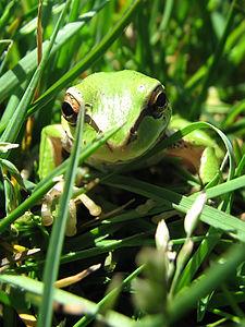 Frog in Puyallup, WA.jpg