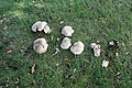 Fungi in central reservation of Queens Drive.jpg