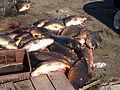 Furiani carpes péchées dans l'étang de Biguglia.jpg