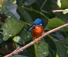 GJSheppard-Blue-eared Kingfisher.jpg