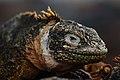 Galápagos land iguana (4202533950).jpg
