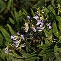 Galéga officinal-Galega officinalis-Fleurs-20140921.jpg