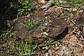 Ganoderma resinaceum.jpg