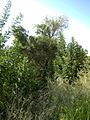 Garden Way - Wall - trees - streamlet - 17 Shahrivar st - Nishapur 31.JPG