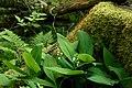 Garphyttan Lily of the valley in forest.jpg