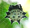 Gasteracantha1.jpg