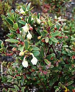 240px gaultheria pumila var. crassifolia (9102305783)