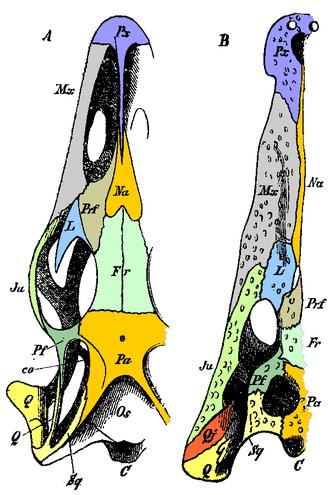 Jugal bone - Diagram showing homologous bones of the skulls of a monitor lizard and a crocodile.  Jugal bone labelled Ju, in pale green, at centre left.