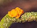 Gele trilzwam (Tremella mesenterica) op dode tak van een eik 18-12-2020 (d.j.b.).jpg
