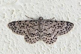 Geometrid moth (Hymenomima camerata).jpg