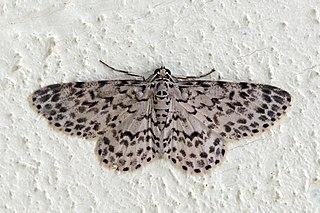 <i>Hymenomima</i> Genus of moths