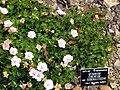 Geranium cinereum var. subcaulescens DUBG 2009-06-03.JPG