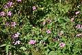 Geranium himalayense in Jardin botanique de la Charme 01.jpg