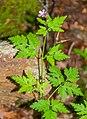 Geranium robertianum in Aveyron (2).jpg