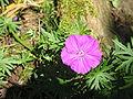 Geranium sanguineum003.jpg