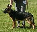 German Shepherd Dog Alsatian 3.jpg