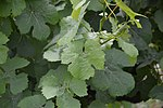 Gewürtraminer - leaves.jpg