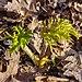 Gewone berenklauw (Heracleum sphondylium) (d.j.b.) 01.jpg