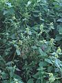 Gewone hennepnetel plant Galeopsis tetrahit (2).jpg