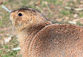 Gfp-black-tailed-prairie-dog.jpg