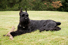 A black Giant Schnauzer at rest, with a dog toy in its paws. The dog is looking alertly at something out of frame.