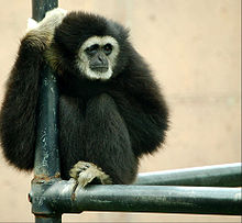 Gibbon at the Philadelphia Zoo.jpg