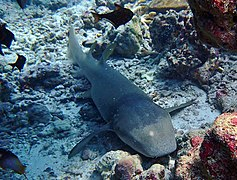 A nurse shark (Nebrius ferrugineus)