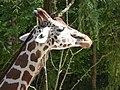 Giraffe-Head-1.jpg