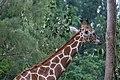Giraffe (27798190600).jpg