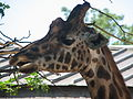 Giraffe chewing.jpg